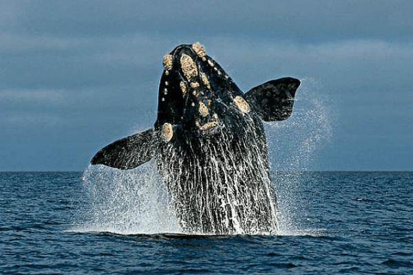 南露脊鲸:世界上睾丸最大的鲸鱼(每个重达500公斤)